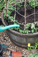 Person watering newly planted Lathyrus odoratus - sweet pea plants - planted out in a wooden barrel with a stick wigwam frame support.