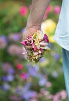 Gardener with a handful of deadheaded rose blooms.