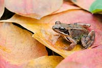 Rana temporaria - Common garden frog sitting on colourful autumn leaves.