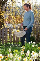 Woman with trug of cut Narcissus - daffodils.