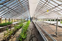 Cucumis sativus - organic Cucumber plants in polyethylene greenhouse, Quebec, Canada
