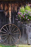 Scaveola, Petunia and Osteospermum in hanging basket against old  wooden barn with wheel