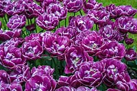Double Late Tulipa 'Dream Touch'