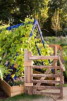 Colourful wooden frame support for runner beans with wooden gate and raised beds.