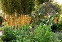 Rosa 'Zephrine Drouhin' on metal arbour with Phyllostachys screening greenhouse, Gloucester, UK