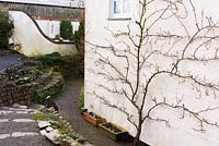 Trained tree on gable of farmhouse at Higher Cherubeer, Devon