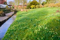 Sloping bank  with naturalised daffodils beside stream,  Nottinghamshire