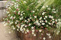 Erigeron karvinskianus - Mexican Fleabane and Stipa tenuissima - Mexican feather grass