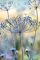Umbellifer - dried flowerhead