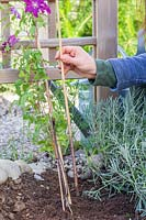 Woman removing supportive canes from clematis after planting.