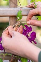 Close up of woman gently tying in Clematis stems to trellis.