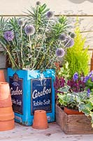 Blue autumnal arrangement, with cut Echinops - Globe Thistle - and Euphorbia in vintage tin container.