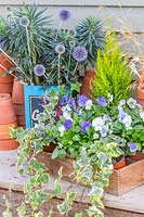 Blue autumnal arrangement with cut Echinops - Globe Thistle - and Euphorbia in vintage tin container, stacked terracotta pots and wooden crate of flowering Viola.