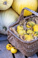 Basket of harvested quince next to pile of pale yellow pumpkins.