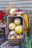 Colander of harvested apples on wooden crate stacked with yellow pumpkins and basket of quince.