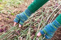 Woman laying Verbena flowerheads into place on soil, to act as mulch and ensure that seeds fall out and establish naturally.