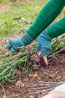 Woman staking Verbena flowerheads into place on soil, to act as mulch and ensure that seeds fall out and establish naturally.