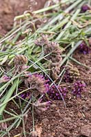 Verbena flowerheads laid out on soil, to act as mulch and ensure that seeds fall out and establish naturally.