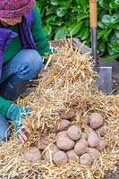 Woman covering nest of harvested potatoes with more straw.