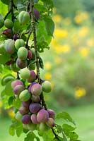 Prunus domestica - Ripening Plums on the tree.