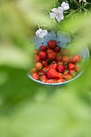 Fragaria x ananassa - Strawberries in a colander