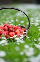 Fragaria x ananassa - Strawberries in a wicker basket amongst daises.