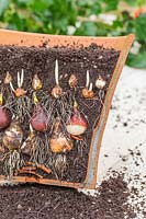 Cross section of rooting and shooting bulb lasagna in terracotta pot, including Narcissus 'Cheerfulness White', Tulipa 'Passionale', Crocus 'Ruby Giant' and Muscari latifolium.