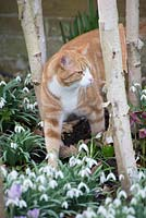 Thomas the cat under the Betula utilis var. jacquemontii - Silver Birch trees with Helleborus - Hellebores and Galanthus nivalis- snowdrops.
