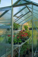 View into greenhouse with Pelargoniums.
