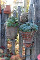 Succulents in clay pots hanging from garden fence.