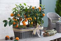 Calamondine and kumquat in basket box.