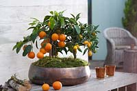 Calamondine and kumquat in a copper container.