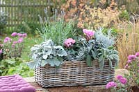 Autumn wicker basket with silver grey plants and flowering Cyclamen.