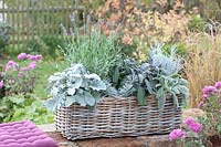 Autumn wicker basket with silver grey plants.