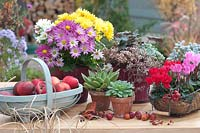 Autumnal arrangement with chrysanthemums, Cyclamen, Echeveria and trug of harvested apples.