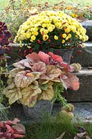 Multiflora Chrysanthemum 'Kiraz' and Heuchera in pots on garden steps.