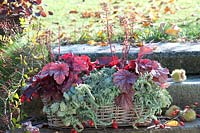 Autumnal woven wicker trough, planted with Heuchera.
