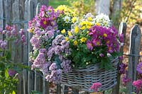 Basket planted with chrysanthemums and sedums hanging from picket fence.