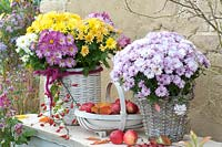 Wicker baskets with flowering Chrysanthemum on table with trug of harvested apples.