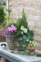Wire basket with cyclamen, Christmas rose and sugarloaf spruce