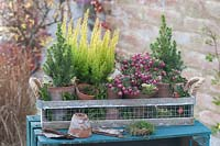 Autumnal arrangement in lattice trough, with terracotta pots of Calluna and conifers.