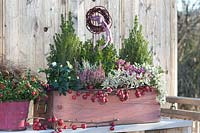 Autumnal trough with Sugarloaf spruce, heather and Helleborus niger.