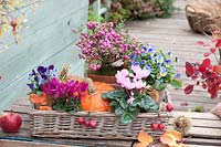 Basket tray with cyclamen, horned violet and peat myrtle