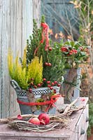 Galvanised containers with Sugarloaf spruce, heather and Skimmia in garden.