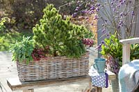 Pine, sage and peat myrtle in basket