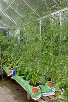 View inside a greenhouse with tomatoes growing out of growbags