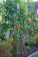 Tomatoes growing on hazel supports outside in a raised bed with Tagetes - marigolds, September. Brookside