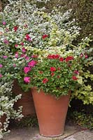 Helichrysum petiolare, Pelargoniums, Salvias and Fuchsias in group of large terracotta pots.