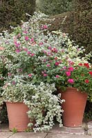 Helichrysum petiolare, Pelargoniums and Salvias in group of large terracotta pots.