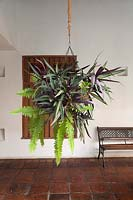 Tradescantia spathacea and Nephrolepsis exaltata 'Bostoniensis' in hanging basket - Spiderwort, Boston fern - Colombia